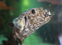 Fish with teeth. Aquarium cute gray puffer fish showing teeth Royalty Free Stock Images
