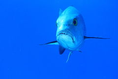 Fish with teeth. Fish with sharp teeth swimming in blue sea Royalty Free Stock Photography
