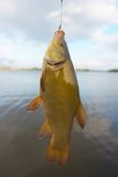 Fish: tench Royalty Free Stock Image
