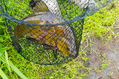 The fish - tench in cage. Russia royalty free stock image