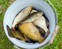 Fish tench roach bass catch in retro rusty bucket Royalty Free Stock Image