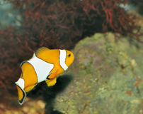 Free Fish - The Clown Royalty Free Stock Photo - 13072885