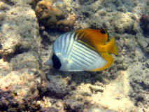 Fish : Threadfin Butterflyfish Royalty Free Stock Photography