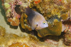 Fish Threespot damselfish Stegastes planifrons. Caribbean reef fish underwater, Threespot damselfish, Stegastes planifrons Stock Photo