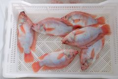 Fish Tilapia in a drawer Stock Photo