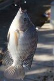 Fish Tilapia hanging hook Royalty Free Stock Photography