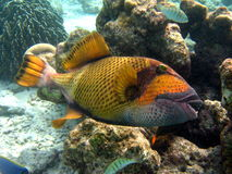 Fish : Titan Triggerfish. A dangerous fish in maldivian ocean, near coral reef Royalty Free Stock Photo