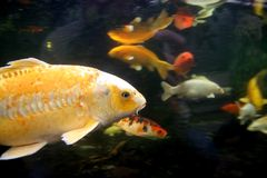 Fish traffic. Fish moving about in a calm manner stock photos