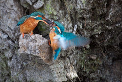 Fish transfer. As a ritual mating kingfishers transfer fish from one and other stock photos