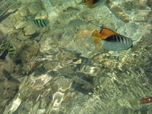 Fish  in a transparent sea water. Stock Images