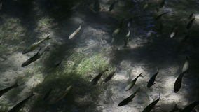 Fish in transparent water. Skradinski Buk, national park Krka, Croatia stock footage