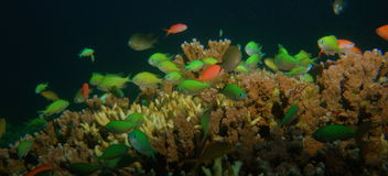 Fish on tropical reef. Luminous fish swimming above coral reef in the Philippines Stock Photo