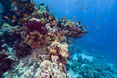 Fish and tropical reef in the Red Sea. Royalty Free Stock Images
