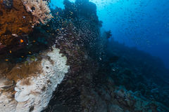 Fish and tropical reef in the Red Sea. Stock Photography