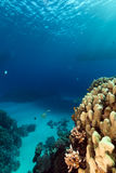 Fish and tropical reef in the Red Sea. Royalty Free Stock Photography