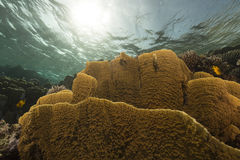 Fish and tropical reef in the Red Sea. Stock Images