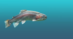 Fish trout in seawater. Beautiful fish rainbow trout with sea water stock images