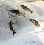 Fish jumping up rushing water to spawn stock image