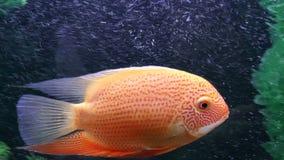 Fish, Tsihlazomy Severum stock video footage