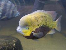 Fish   tsikhlid perch predator aquarium   fresh-water Stock Photography