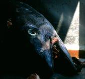 FISH TUNA MARKET ADRIATIC EUROPE royalty free stock photography
