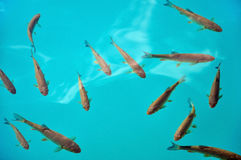 Fish in turquoise lake water. Plitvice, Croatia Stock Photography