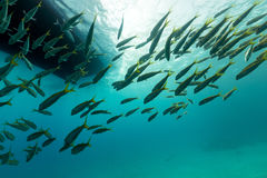 Fish under the boat in the Red Sea. Royalty Free Stock Photography