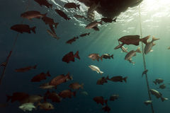 Fish under a floating pier in the Red Sea. Stock Photo