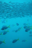 Fish - under water Stock Image