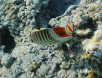 Fish under water. Floats above corals Stock Photography