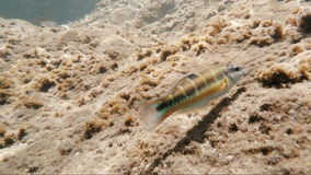 Fish under water. Beautiful sea fish under water Canaries Atlantic Ocean stock video