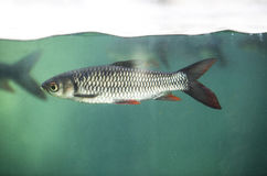 Fish under water surface line Royalty Free Stock Images