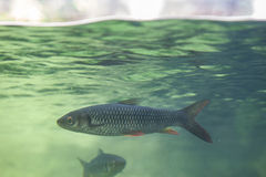 Fish under water surface line. River fish under water surface line of aquarium Stock Photography