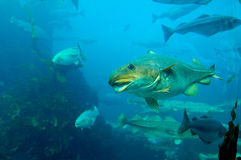 Fish underwater. Fjord fishes in Norway. Underwater view stock photography