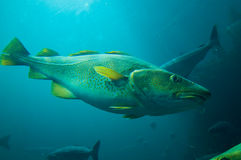 Fish underwater. Fjord fishes in Norway. Underwater view royalty free stock photo