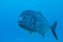 A fish underwater Stock Photography