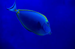 Fish underwater.. A tropical fish amongst some corral Stock Photos