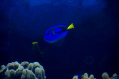 Fish underwater.... A tropical fish amongst some corral Stock Images