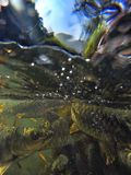 Fish underwater. Carp fish underwater at waterfall in goa india Stock Photo