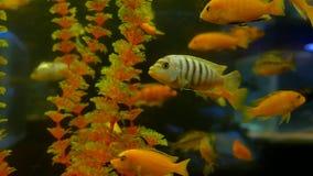 Fish underwater in ocean. Fish swim in a sea of beautiful video 4k ocean stock video
