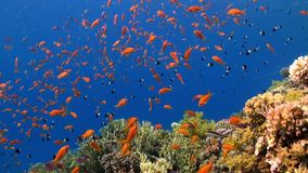 Fish underwater in Red sea. Beautiful background of coral reef. Life of lagoon stock video footage