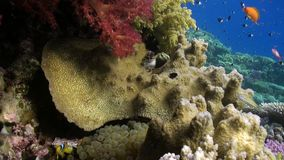 Fish underwater in Red sea. Beautiful background of coral reef. Life of lagoon stock footage