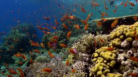 Fish underwater in Red sea. Beautiful background of coral reef. Life of lagoon stock video