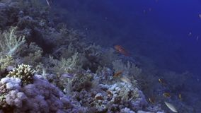 Fish underwater Red sea. Relax video about marine nature on background of beautiful lagoon stock footage