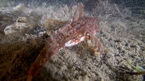 Fish underwater on seabed of Barents Sea. Diving on background of blue lagoon and wildlife in Arctic ocean stock video footage