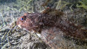 Fish underwater on seabed of Barents Sea. Diving on background of blue lagoon and wildlife in Arctic ocean stock video