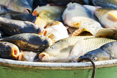 Fish in vat Stock Photo