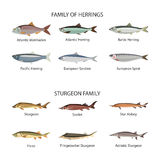 Fish vector set in flat style design. Herrings and sturgeon fishes. Ocean, sea, river fishes icons collection. Fish vector set in flat style design. Herrings Stock Photography