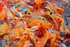 Fish in Vietnam. Orange group of fish in Vietnam Royalty Free Stock Photography
