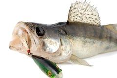 Fish walleye. Zander isolated on white background Stock Image